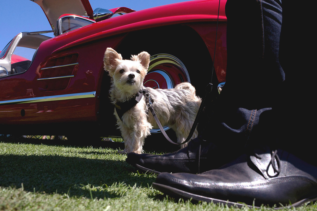 Description of . Robert Oberhofer stands with his dog, Bently, in front of a 1955 Mercedes Benz Gullwing 300SL Friday, August 16th, 2013 at the Legends of the Autobahn car show at Rancho Canada Golf Course. (Matthew Hintz/Monterey County Herald)