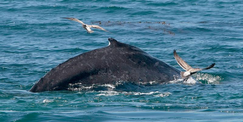 Humpback Whales off Monastery Beach - 082415
