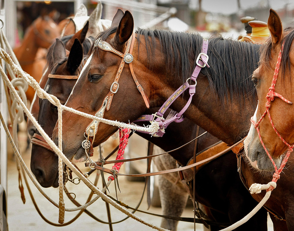 . Plenty of horses during the Grand Entry at the California Rodeo Salinas on July 18, 2013.  (Vern Fisher/Monterey County Herald)